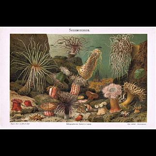 Sea Anemone: Decorative, antique Lithograph from 1900