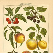 Stone Fruits – Drupes. Decorative Chromo Lithograph, 1898