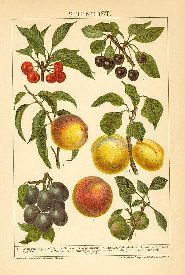 Stone Fruits – Drupes. Decorative Chromo Lithograph, 1898