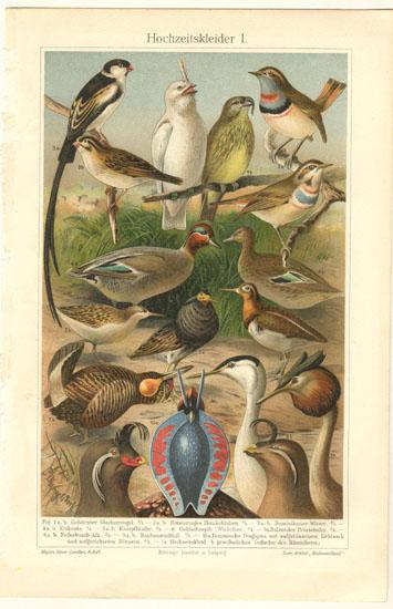 Birds with Decorative Feathers. Old Lithograph from 1902
