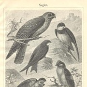 Swift: Old Lithograph with 6 Kinds of Birds