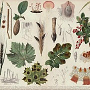 Diseases of Plants. Decorative Chromo Lithograph: Lithograph from 1907