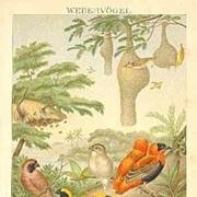 Baya: Antique Chromo Lithograph with Birds