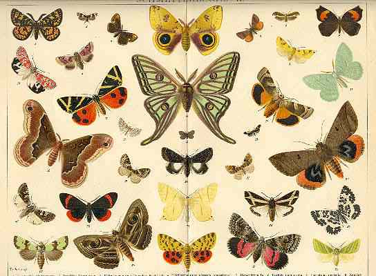 Butterflies. Decorative Chromolithograph, 12 x 9, 1902
