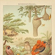 Baya: Chromo Lithograph from 1898 with Images of Birds
