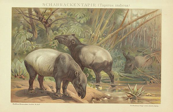 Tapirs. Very decorative old Chromolithograph, 1898