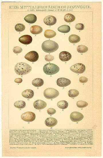 Eggs of European Birds: Old Chromolithograph from 1898.