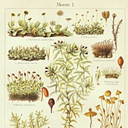 Moss. Chromo Lithograph from 1899