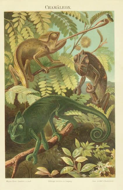 1898: Chameleons: Very decorative Chromo Lithograph