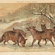 Wolves: Antique Chromo Lithograph from 1898