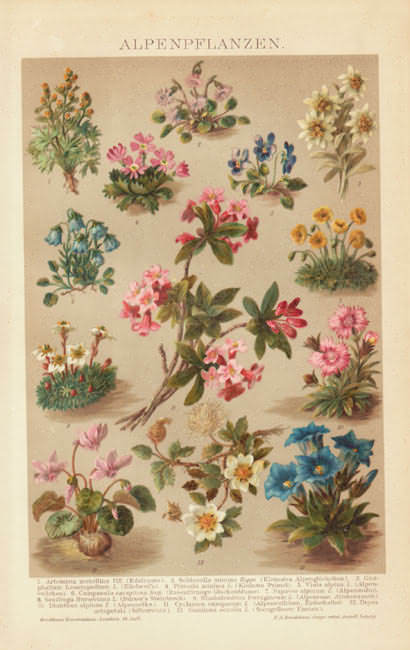 1898:  Chromolithograph depicting 13 kinds of flowers from the Alps.