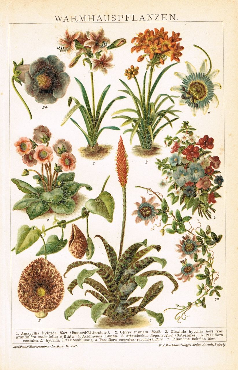 Hothouse Plants. Chromo Lithograph from 1898