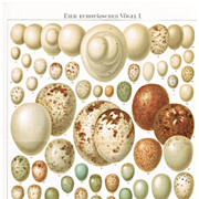 1898: Eggs of European Birds. 2 old Chromolithographs
