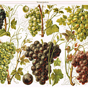 1900: Grapes. Old Chromolithograph
