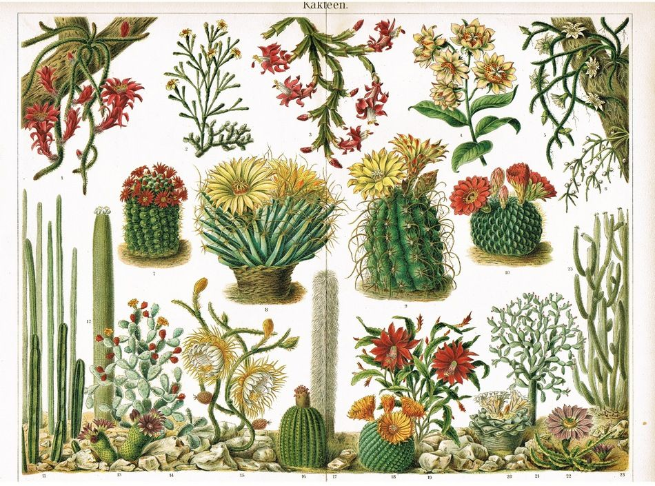 1898: Colorful Chromolithograph of Cactuses