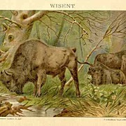 1907: Bison. Decorative Chromo Lithograph. European.