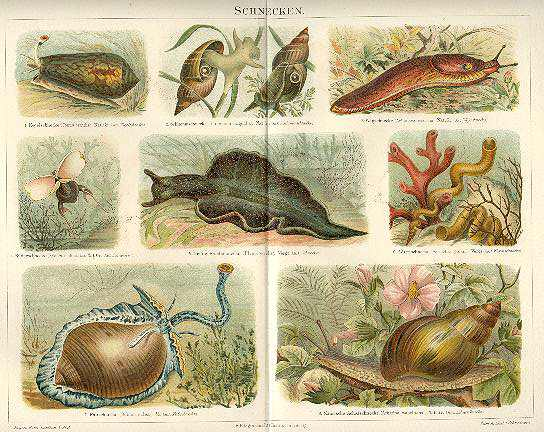 1898: Snails. Chromo Lithograph 12 x 9.5. Decorative