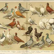 1902: Pigeons. Fine Chromolithograph. Decorative.