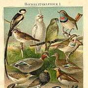 1898: Birds, Ducks, Reptils : Two very decorative Chromo Lithographs