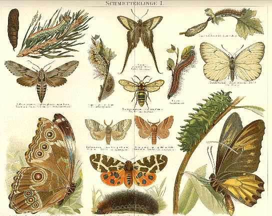 1898: Two fine Chromo Lithographs with Butterflies.