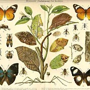 1898: Mimicry. Insects ( Imitations ). Chromolithograph