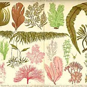 2 Chromo Lithographs, Botanical: Fern, Algae. 1898, 1902