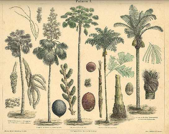 Palm Trees. Etching from 1874.