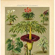 Araceae: Old Chromo Lithograph from 1901