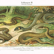 Snakes: Old Chromo Lithograph from 1901