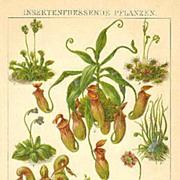 1901: Insect eating Plants. Decorative Chromo Lithograph