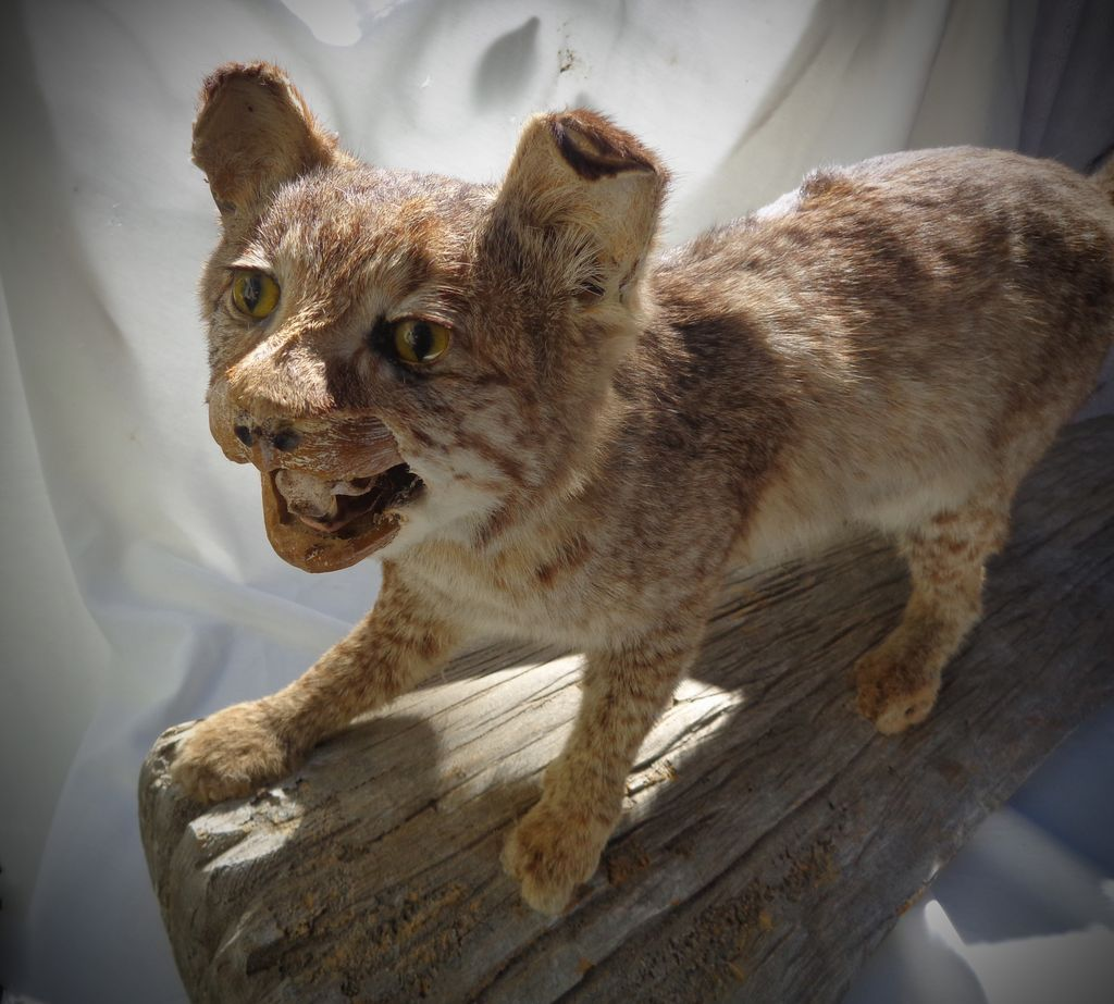 Vintage Bobcat Taxidermy Masterpiece on Cypress