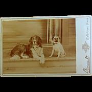 St. Bernard & Pug Cabinet Photo c.1890's Watertown,Mass