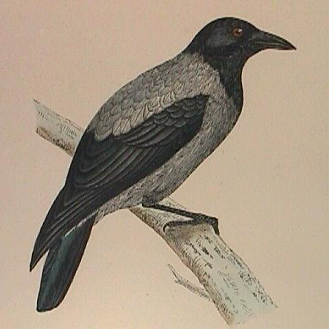 c1870 Hand Colored Hooded Crow Print matted in Chrome Frame (Rev. F.O. Morris)