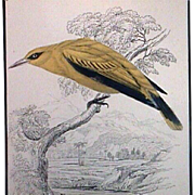 Hand Colored African Golden Oriole Engraving from Birds of Western Africa by Sir Wm Jardine (Publ. 1837)
