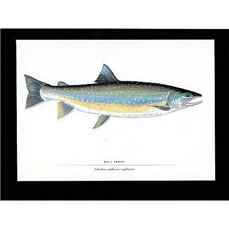 Fish Print Trout Print Bullhead Trout