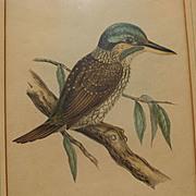 Antique Bird Print - Hullmandel & Walton hand colored lithograph Halcyon