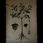 Antique Czech Botany School Teaching Chart - 19th Century Botanical Poster