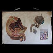 Vintage Medical School Biology Teaching Chart - Male Human Anatomy