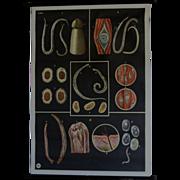 Vintage Medical Biology School Teaching Chart - Human WORM Parasites