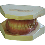 Vintage Dental Teeth Teaching Model - Medical Tooth / Denture Model