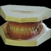Vintage Dental Teeth Teaching Model - Medical Tooth / Denture Model