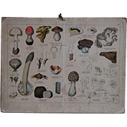 19th Century Engraved Mushroom / Fungi Identification Chart - Antique German Natural HIstory / School Biology Teaching Card