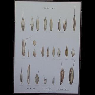 Vintage 1940s Danish Botanical SEED Chart -Ellen Backe School / Botany / Biology / Teaching Chart Print # 2