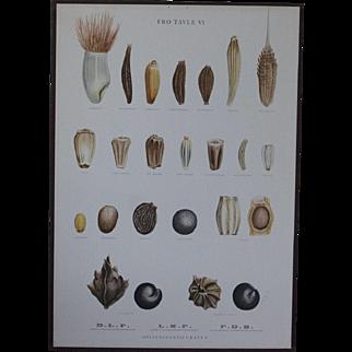 Vintage 1940s Danish Botanical SEED Chart -Ellen Backe School / Botany / Biology / Teaching Chart Print # 6
