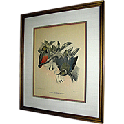 Vintage print, birds, Elliot of Pitta Erythr O Castra, late 19th century