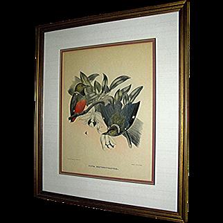 Antique print,  Pitta Erythr O Castra, drawn by Daniel Giraud Elliot, Bowen & Co. Ltd. Phila.