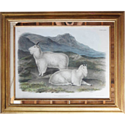 JOHN WOODHOUSE AUDUBON Colored Lithograph, Rocky Mountain Goat - Original