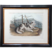Original JOHN WOODHOUSE AUDUBON Colored Lithograph, Hare-Indian Dog