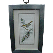 Vintage Etching of Bird Perched on Pine Branch