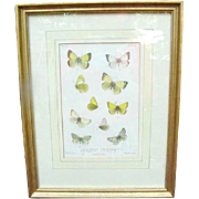 Antique Chromolithograph of Moths, Identified and Sourced, London